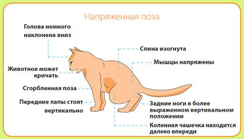 Поза животного на лотке при мочекаменной болезни