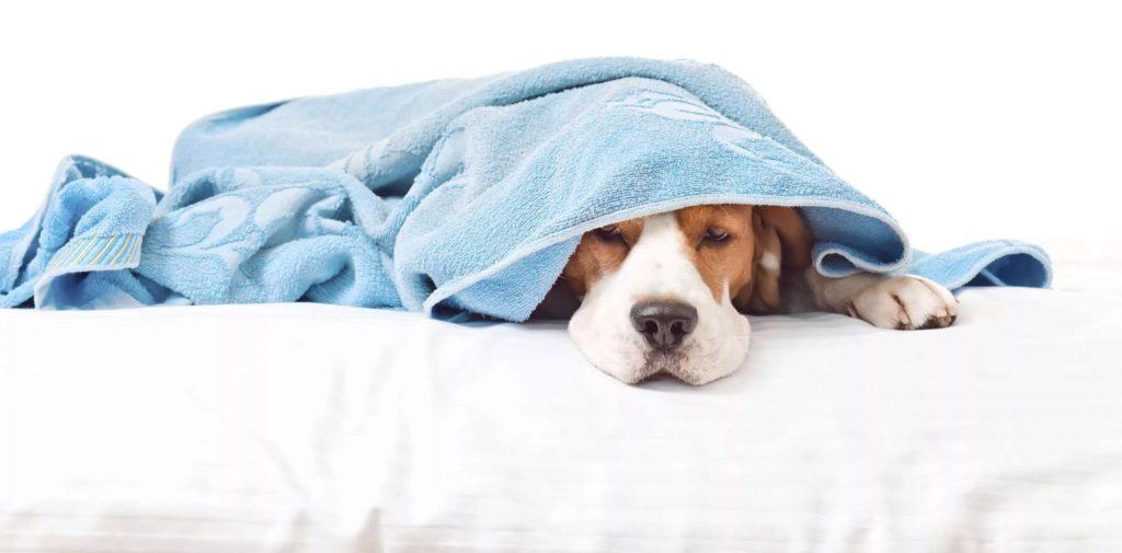 Собака спряталась под полотенцем