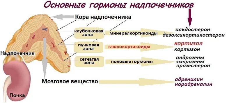 Схема гормонального выделения надпочечниками
