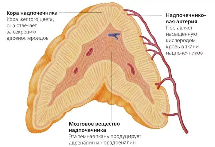Вид надпочечника в разрезе