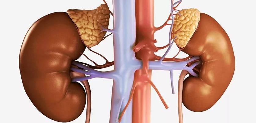 Рисунок почек, надпочечников и кровеносных сосудов