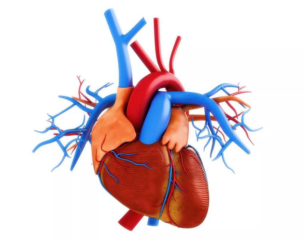 Графическая проекция сердца и сосудов