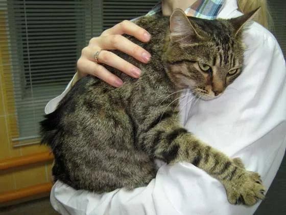 Серая кошка в руках у доктора